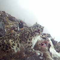 Insurance plan saving Nepal's snow leopards