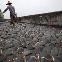 Edible roofing tiles: A worker collects pieces of shark fin left to dry on the rooftop of a factory building in Hong Kong on Thursday. | AP