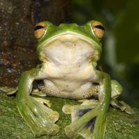 A Helen's flying frog