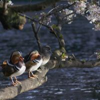 Out on a limb: Oshidori (鴛鴦, mandarin ducks) perch on a sakura (cherry) tree by the pond in Kichijoji's Inokashira Park — the source of the Kanda River. | HIROKO YODA