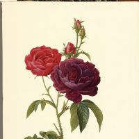 'Rosa Gallica (Purpuro-violacea magna)' from 'Les Roses' | THE CONNOISSEUR'S COLLECTION TOKYO