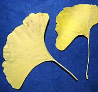 The leave of the ginkgo is unusual in that each blade has multiple midribs fanning out rather than a single central one.