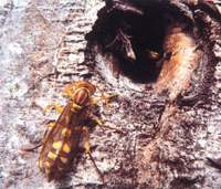 Hornets colonize last year's spigot hole in the tree.