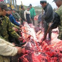 Villagers set to work stripping the skin from the whale.