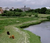 Home range: Scottish Highland cattle graze peacefully in one of the urban Wetland Centre's water meadows. | C.W. NICOL PHOTO