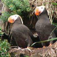 Bird-world Hobbits: A pair of Tufted Puffins outside the clifftop nesting burrow they have dug to keep their egg and chick safe during their brief annual stopover on land.