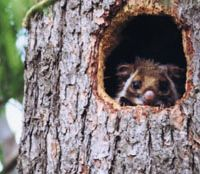 A flying squirrel peeks from a nest box formerly used by owls high in the Afan woods. | KIMIO KAWASAKI PHOTOS