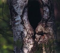 A well-camouflaged owlet surveys the world from its sanctuary in a birch tree