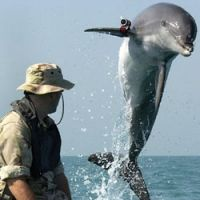 Death squad: A U.S. Navy shot of so-called K-Dog, a Bottlenose dolphin, during its training (while fitted with a GPS pinger) to be sent out to detect and apprehend waterborne attackers. | AP PHOTO