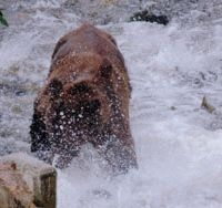A grizzly bear scoops returning salmon out of the man-made weir on the Keogh River in British Columbia. | DON McCUBBING PHOTO