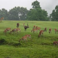 A stag in Nara oversees his harem of grazing hinds | WINIFRED BIRD PHOTOS