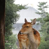 One of Nara Park's estimated 1,200 sika deer   descendants of those that, according to legend, carried the deities to Kasuga Grand Shrine in 709 and 768   stands at the gate of Todaiji Temple.
