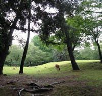 128-year-old Nara Park looks positively pastoral, although experts believe the surrounding ancient Kasugayama Forest Reserve is in crisis because the deer  𓴼 whose numbers plummeted to just 78 by 1945 due to wartime hunting for food  𓴼 are now too numerous