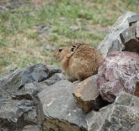 Eat, rabbit, eat: The woodland floor offers a feast fit for a king (well, at least for a Mongolian pika). | MARK BRAZIL PHOTOS