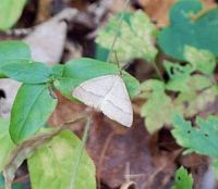 Snow signal: One of the day-flying moths said to be a harbinger of snow.   KEIKO TAMURA PHOTOS