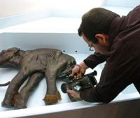 Back to the future: A baby mammoth from 40,000 years ago found in Siberia in 1977 is filmed while on display in Budapest in March 2008. A Japanese breakthrough in '08 brings the prospect of cloning such extinct beasts much closer. | AP PHOTO