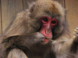 Cutting edge: A Japanese macaque at Iwatayama Monkey Park in Kyoto Prefecture flosses her teeth with hair she took from her back. She is the only one of the park's 150 wild monkeys to have spontaneously developed this self-medicating behavior. | JEAN-BAPTISTE LECA