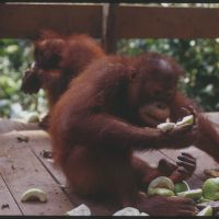 Feeding time in the rainforest: Young orangutans dig in to a meal of mixed fruits at the sanctuary.