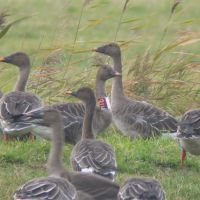 A Bean Goose group at Sarobetsu, one of which is ringed with a collar. | HIROSHI IKAWA PHOTOS