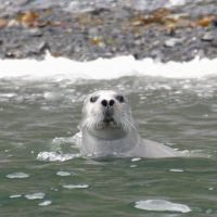 A Spotted Seal basks in nose-up mode off Hokkaido, with its eyes closed but an ear opening clearly visible.