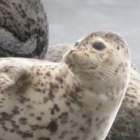 Another Spotted Seal off Hokkaido checks for danger
