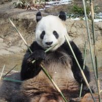 Ri Ri appears content as he gnaws on bamboo. | KYODO