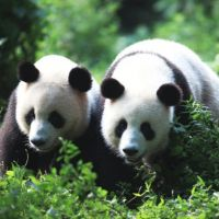 Bear pair: Pandas at the Chengdu Research Base of Giant Panda Breeding, where multiple animals can be studied together, and where by far the most successful captive breeding in the world is done. | ZHANG ZHIHE, CHENGDU RESEARCH BASE OF GIANT PANDA BREEDING
