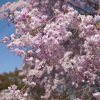 Palatable pink: Yae-zakura blossoms are the most commonly eaten variety.