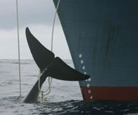 A whale hit with four harpoons dangles lifeless from the bows of the Japanese catcher ship Yushin Maru in the Southern Ocean on Jan. 7, 2006.   JEREMY SUTTON-HIBBERT / GREENPEACE PHOTOS