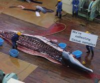 Workers on the Japanese factory ship Nishin Maru in the Southern Ocean hold signs telling Greenpeace photographers in helicopters just what they are doing with these minke whales on the deck on Dec. 16, 2001 (top) and Jan. 5, 2006 (above).