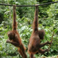 'If we start acting more like orangutans, we'll eventually devolve into them.'   ANDREAS JANSSON PHOTO
