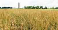 Field study: A pasture in Kansas planted with enhanced perennial grasses that combine high grain yields and huge benefits to the land. | LEE R. DeHAAN / LAND INSTITUTE
