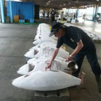 Numbers up: Frozen yellowfin tuna are tagged for auction at Shimizu Port, Shizuoka Prefecture, Japan's top tuna port by total annual tonnage.