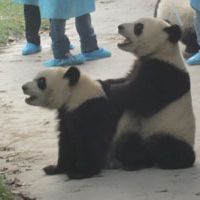 Cute couple: Two baby pandas wait for treats at the Chengdu breeding center. China's image benefits from its 'panda diplomacy'; leasing the bears worldwide is a powerful weapon in Beijing's charm offensive.