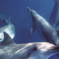 Born free: Mikura Island's waters are among Japan's best for sightings of these bottlenose dolphins. | SATOKO KAWASAKI PHOTOS
