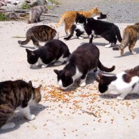 Some of the now-feral former pet cats Matsumura feeds, and a cow to starve in its stall.