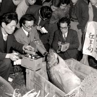 Collateral damage: Officials from Tokyo Metropolitan Government measure radiation levels of tuna from the Lucky Dragon's catch at the city's Tsukiji fish market in March 1954. | KYODO