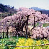 Overwhelming: Named 'Taki-zakura' ('Waterfall Cherry'), this more than 1,000-year-old benishidarezakura (weeping higan cherry; Prunus subhirtella var. pendula) at Miharu, Fukushima Prefecture, is a designated national treasure that stands 12 meters high, spreads more than 22 meters across and attracts 300,000 visitors a year. | ANDREW KERSHAW PHOTOS