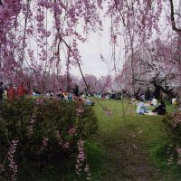 Party time: Groups of people in Hirosaki, Aomori Prefecture, having hanami (blossom-viewing) parties under a variety of cherry trees briefly in flower.