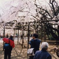 A sight to see: The famed shidare-zakura (weeping cherry) in Rikugi-en Garden in the Komagome district of Tokyo, where every year in early April, thousands go to view its gorgeous pink blossoms.