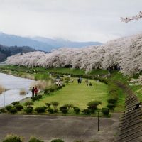 Riverside rapture: A magnificent sweep of cherry blossom lines the Hinokinaigawa River curving by the old castle town of Kakunodate, Akita Prefecture. | ANDREW KERSHAW