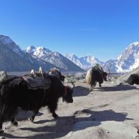 Light brigade: Unburdened yaks head down by the Khumbu Glacier amid typically spectacular Himalayan scenery. | VICTORIA JAMES PHOTOS