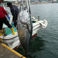 Scale tipper: A 200-plus-kg Pacific bluefin tuna is landed at Oma in Aomori Prefecture after being caught in the Tsugaru Strait between Honshu and Hokkaido. | HILLEL WRIGHT