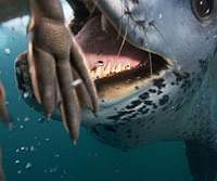 This photo of leopard-seal hunting in the Antarctica won first prize in the Nature Stories category at the World Press Photo Contest 2007.   © Paul Nicklen, Canada, National Geographic Magazine