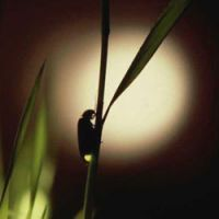 Bug's life: Heike-botaru fireflies go into their glowing season around Tokyo soon. | ITABASHI HOTARU BREEDING FACILITY