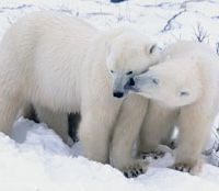 Polar bears nuzzle in the photo 'Expressing Love,' shot by Lisa Vogt, who will present a collection of some 40 images from her numerous expeditions to the Arctic.