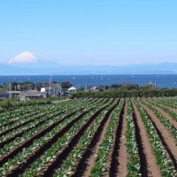 Chilled greens: In winter, rows of cabbages fill the Miura Peninsula's fields against the backdrop of Mount Fuji.
