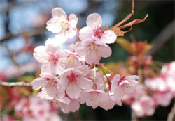 Blooming lovely: This is what all the fuss is about.   © YASUFUMI NISHI / © JNTO