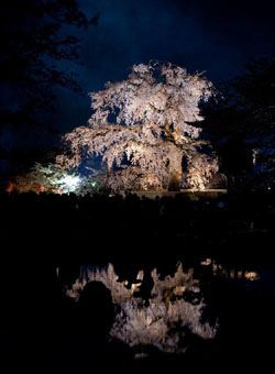 Double take: Kyoto's famous shidare zakura (weeping cherry tree) in Maruyama Park (top). Above: Blossoms tussle at Meguro River. | PERRIN LINDELAUF; © Y. SHIMIZU / © JNTO