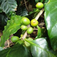 Taste buds: Unripe beans at Hiro Coffee Farm in the Yanbaru district, whose 1,000 bushes yield around a ton of beans a year.